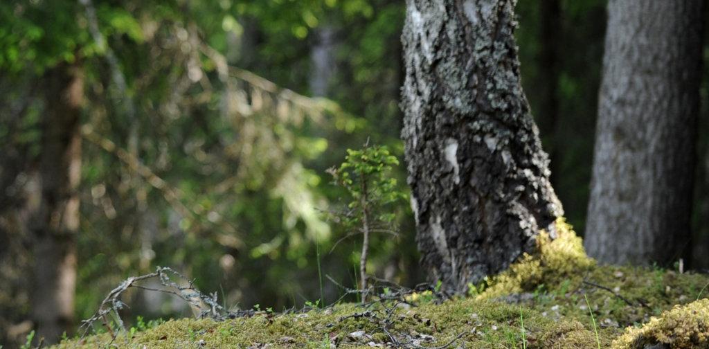 Skogbunn med mose og trestammer av bjørk og gran på friluftsmuseet Maihaugen på Lillehammer.