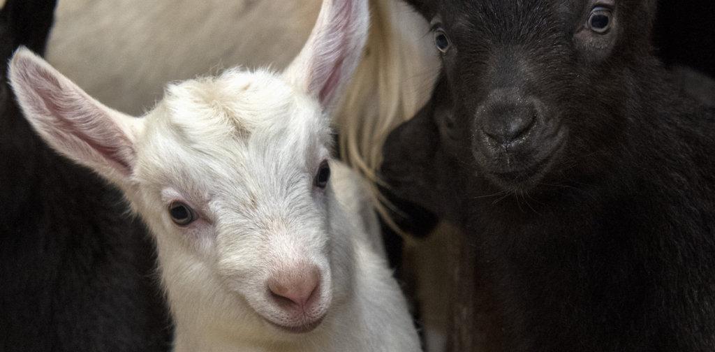 Goat kids in the barn.