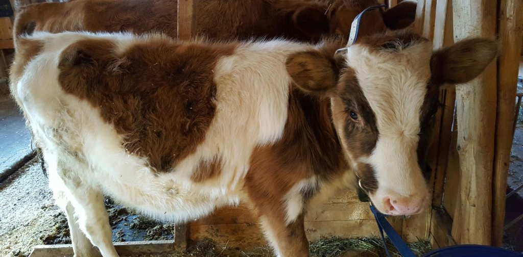White and brown calf with fluffy fur in the barn at Maihaugen in Lillehammer.