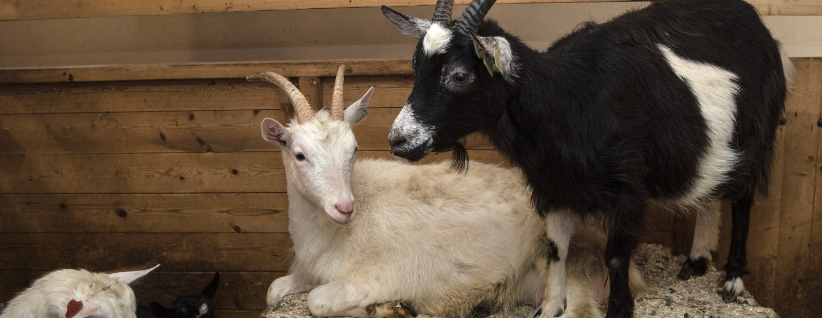 Two goats in the barn at Maihaugen.