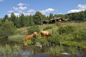The cows are grazing at the mountain farms at Maihaugen, Lillehammer.